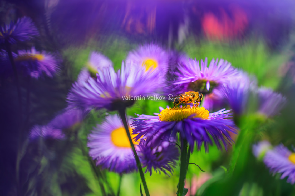 """Honey bee on blue aster"" stock image"
