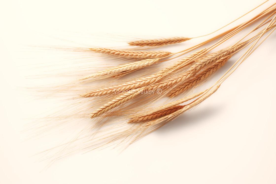 """Wheat spikes isolated on white background"" stock image"
