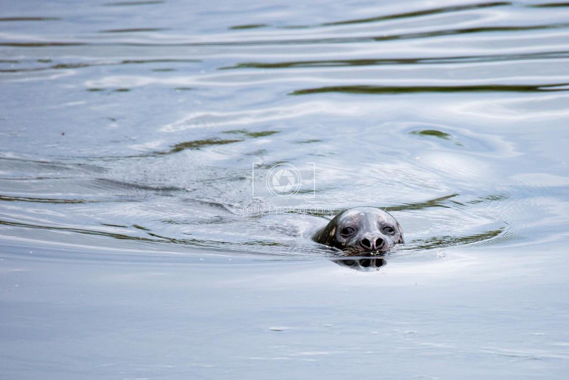 """Seal at Burrishoole Bridge, Newport, Co Mayo"" stock image"
