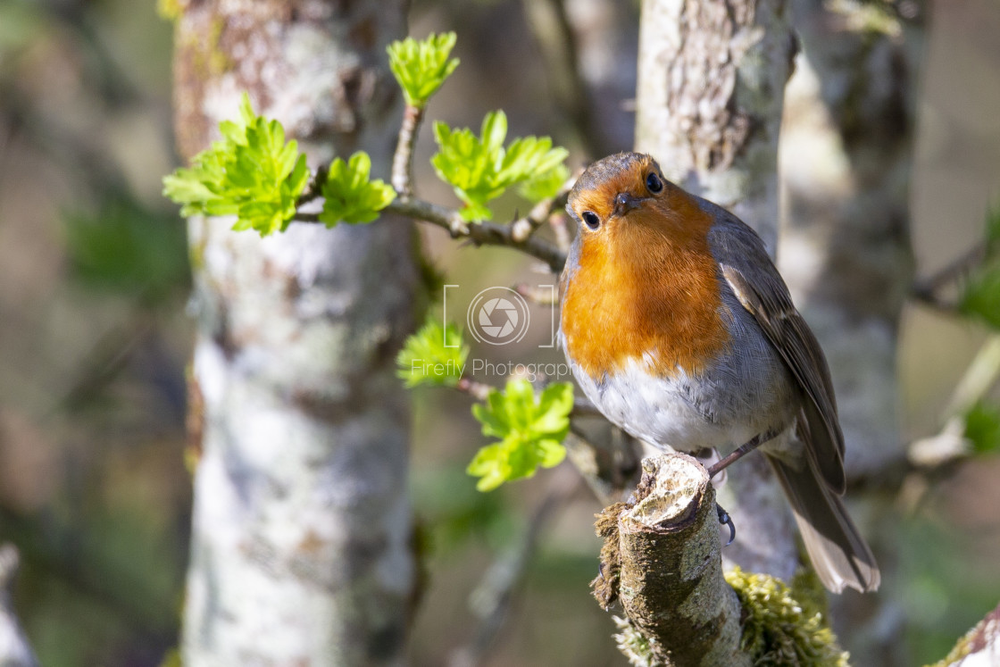 """""""The Robin"""" stock image"""