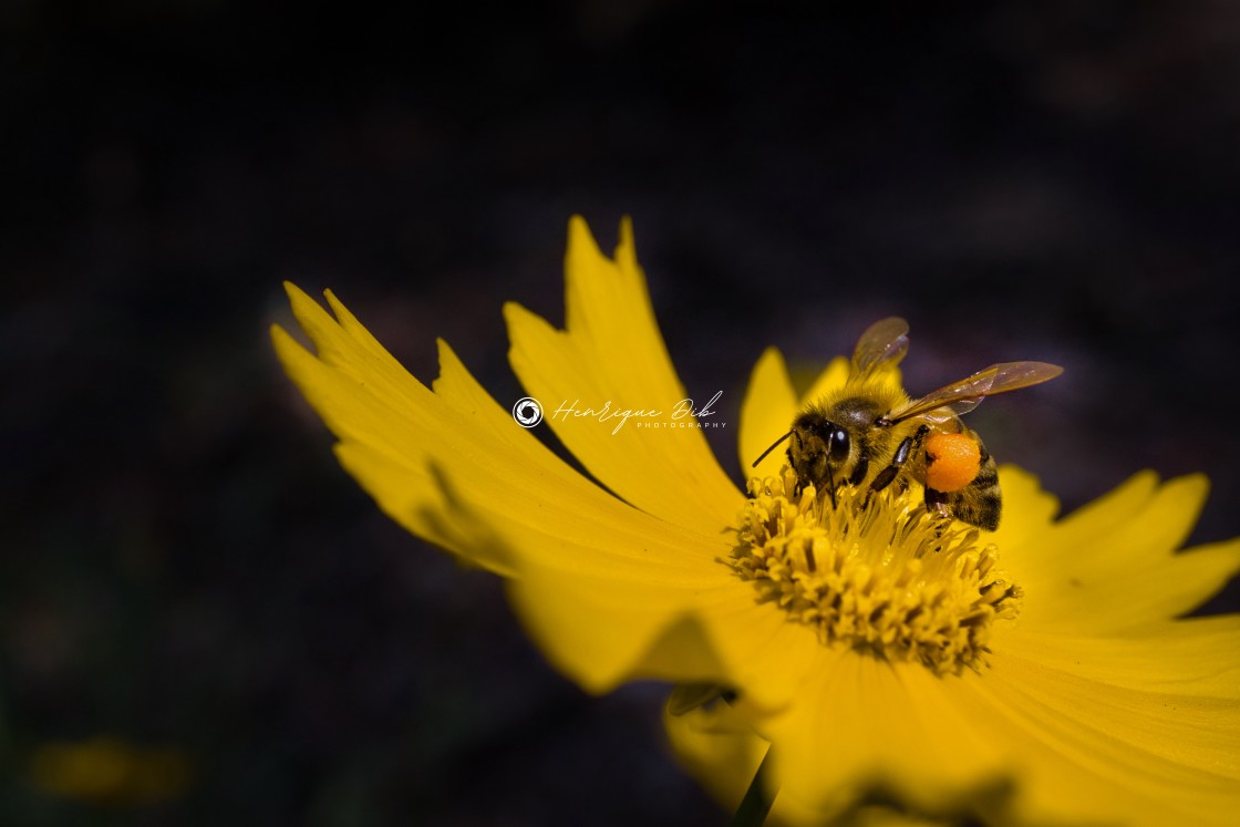 """""""Bee on a Flower 1"""" stock image"""