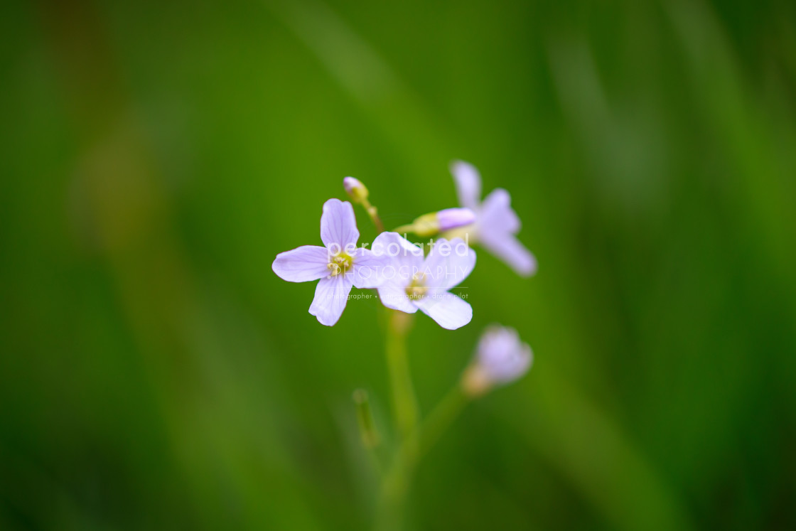"""Wild cuckoo flower"" stock image"