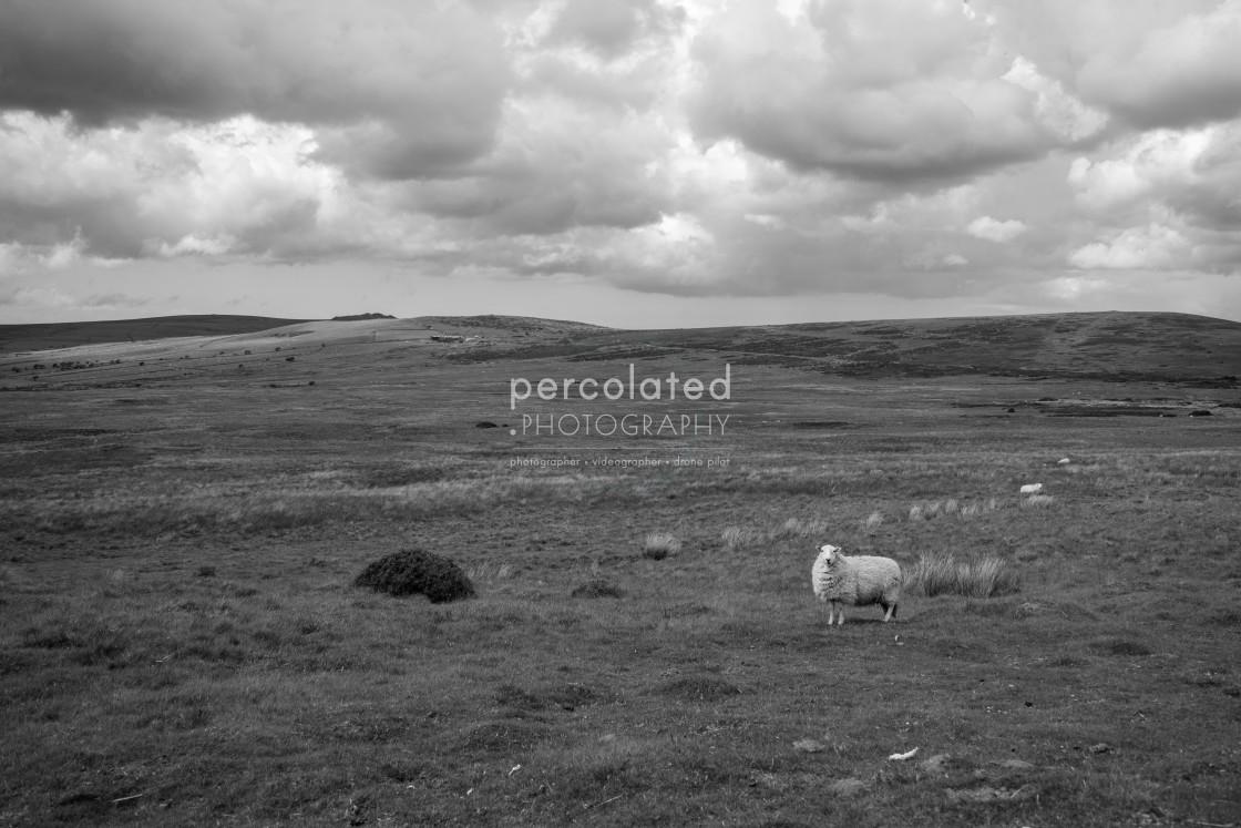 """Preseli Mountain Sheep"" stock image"