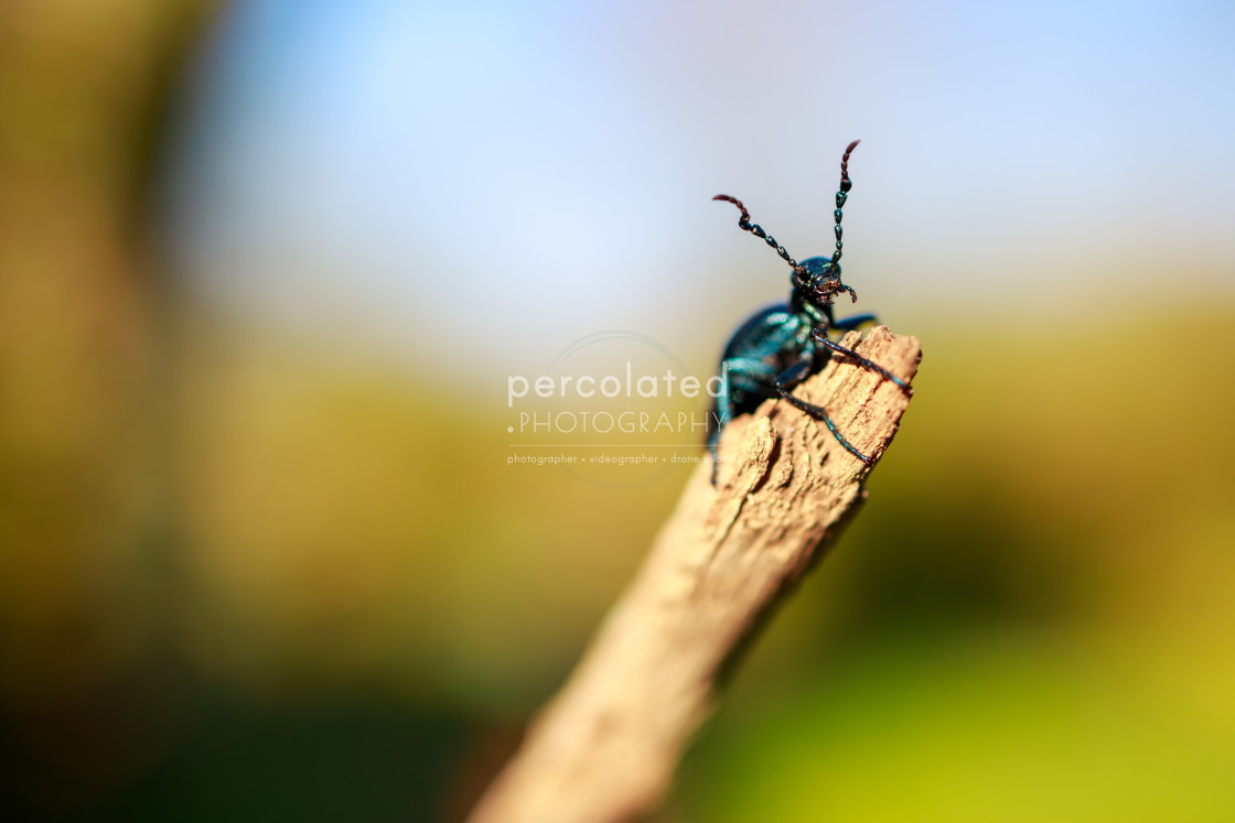 """""""Oil Beetle on a stick"""" stock image"""