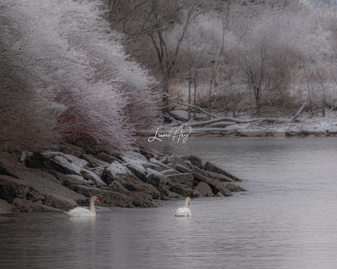 """""""Winter Swan Song"""" stock image"""