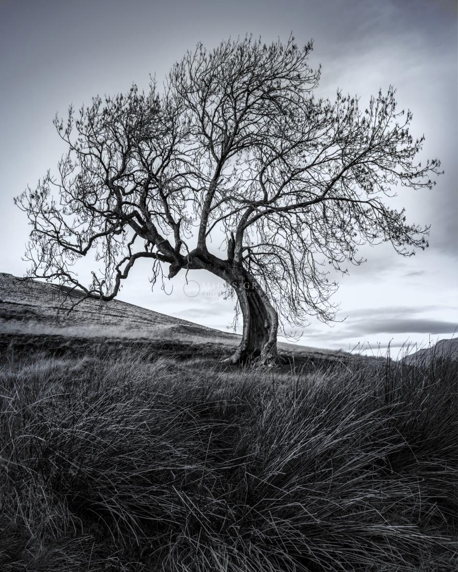 """The Frandy Tree, Glen Devon"" stock image"