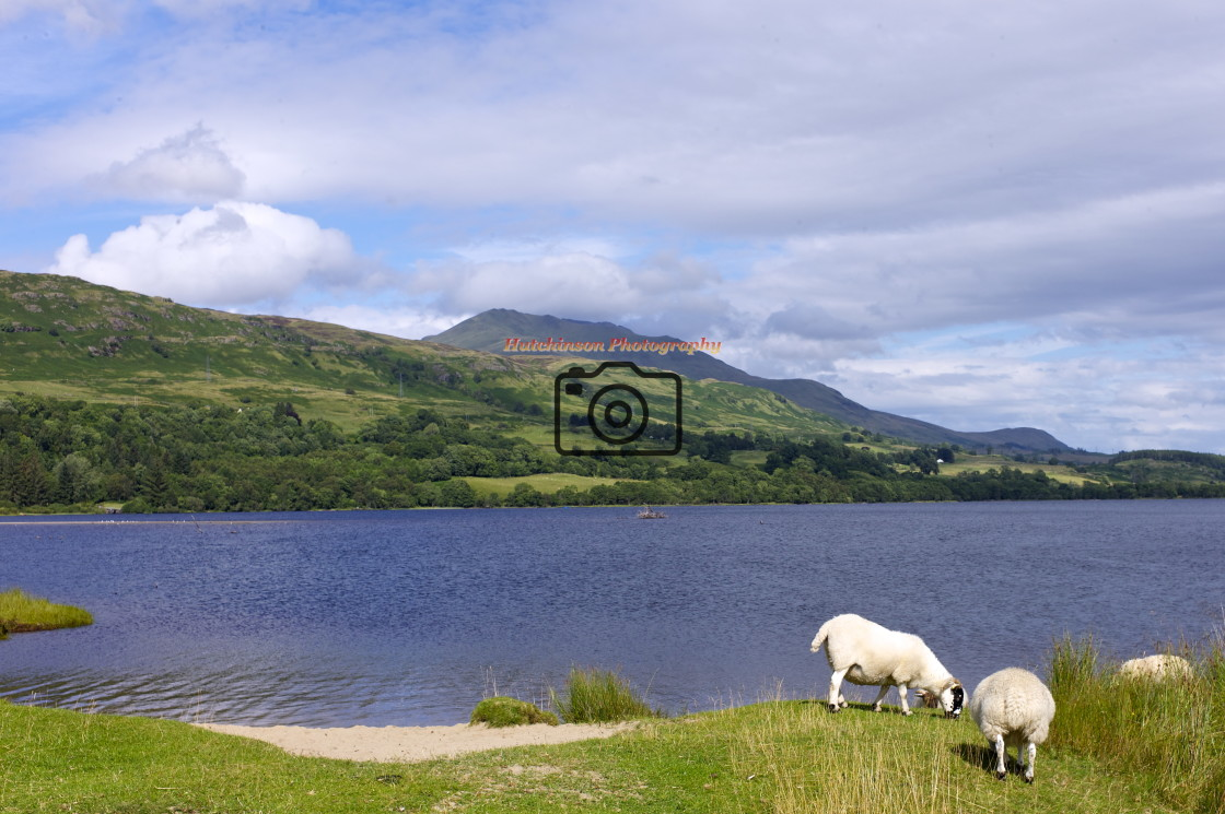 """""""Loch Tay and Sheep"""" stock image"""