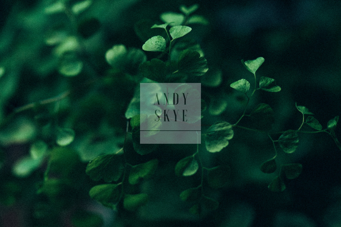 """maidenhair fern"" stock image"
