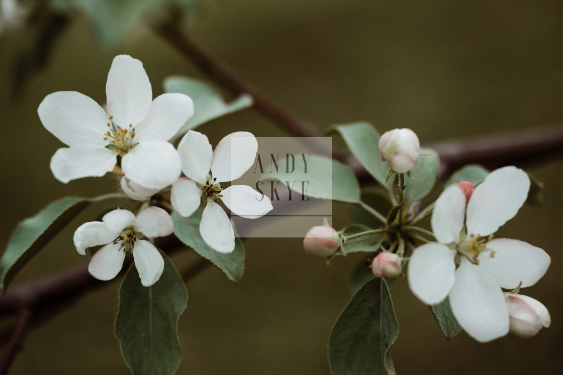 """50 year old apple tree"" stock image"