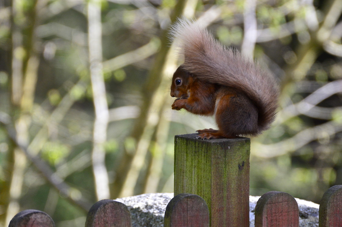 """""""Red Squirrel feeding"""" stock image"""