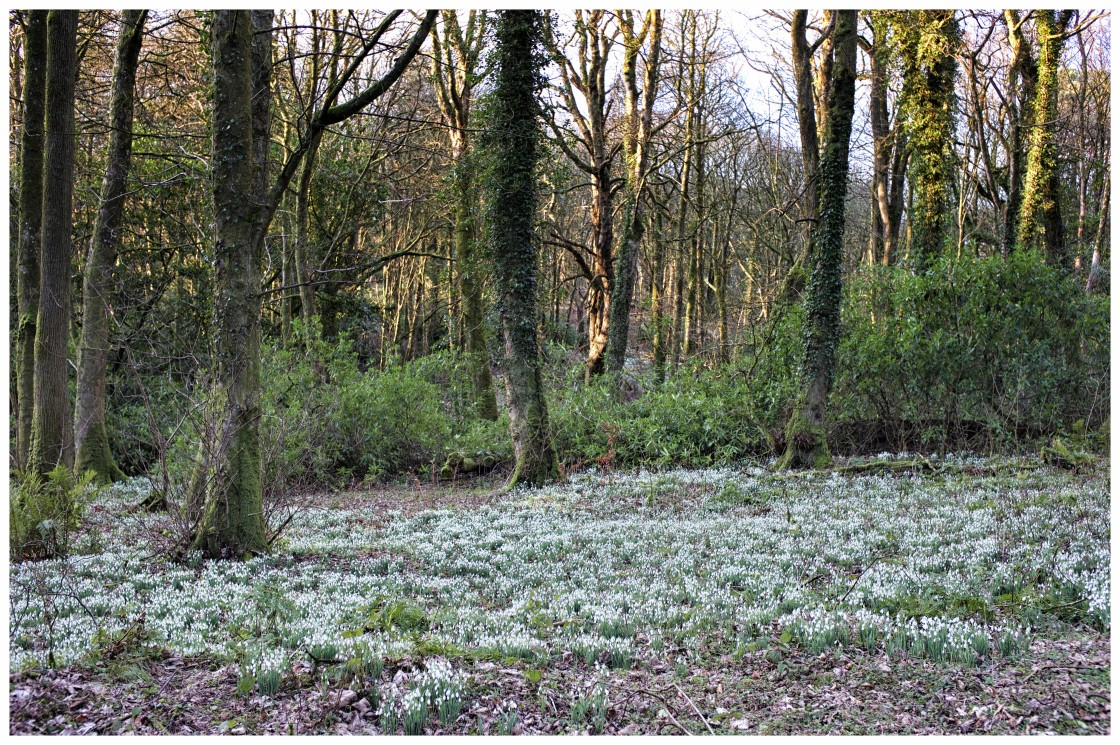 """""""Snowdrops, Light and Trees"""" stock image"""