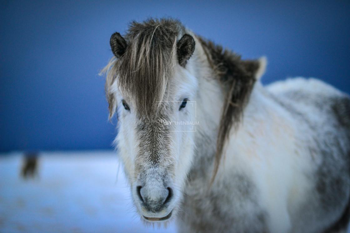 """""""Icelandic Horse V2"""" stock image"""