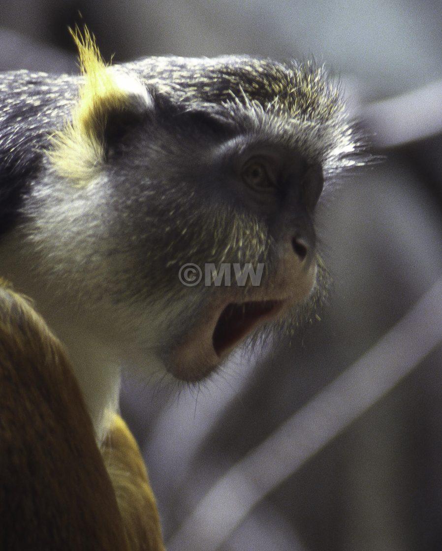 """Fox's Monkey detail."" stock image"