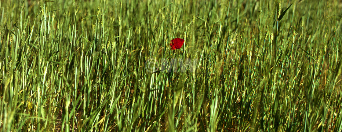 """""""Poppy in wheat field"""" stock image"""