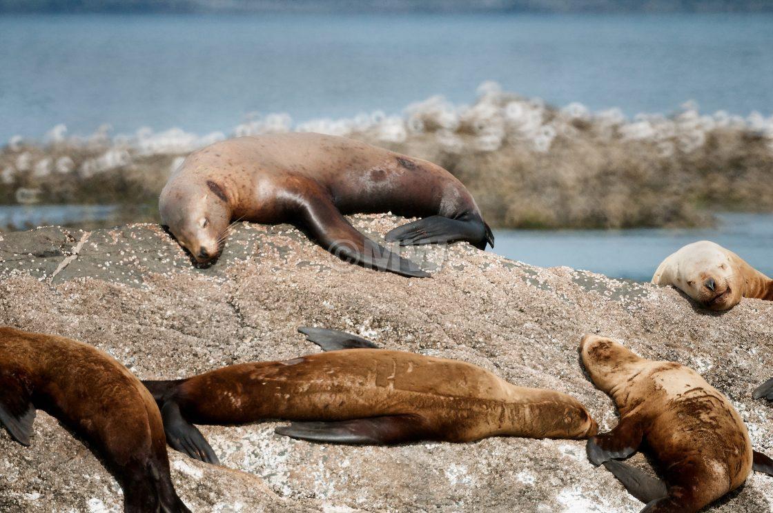"""Steller Sea Lions"" stock image"