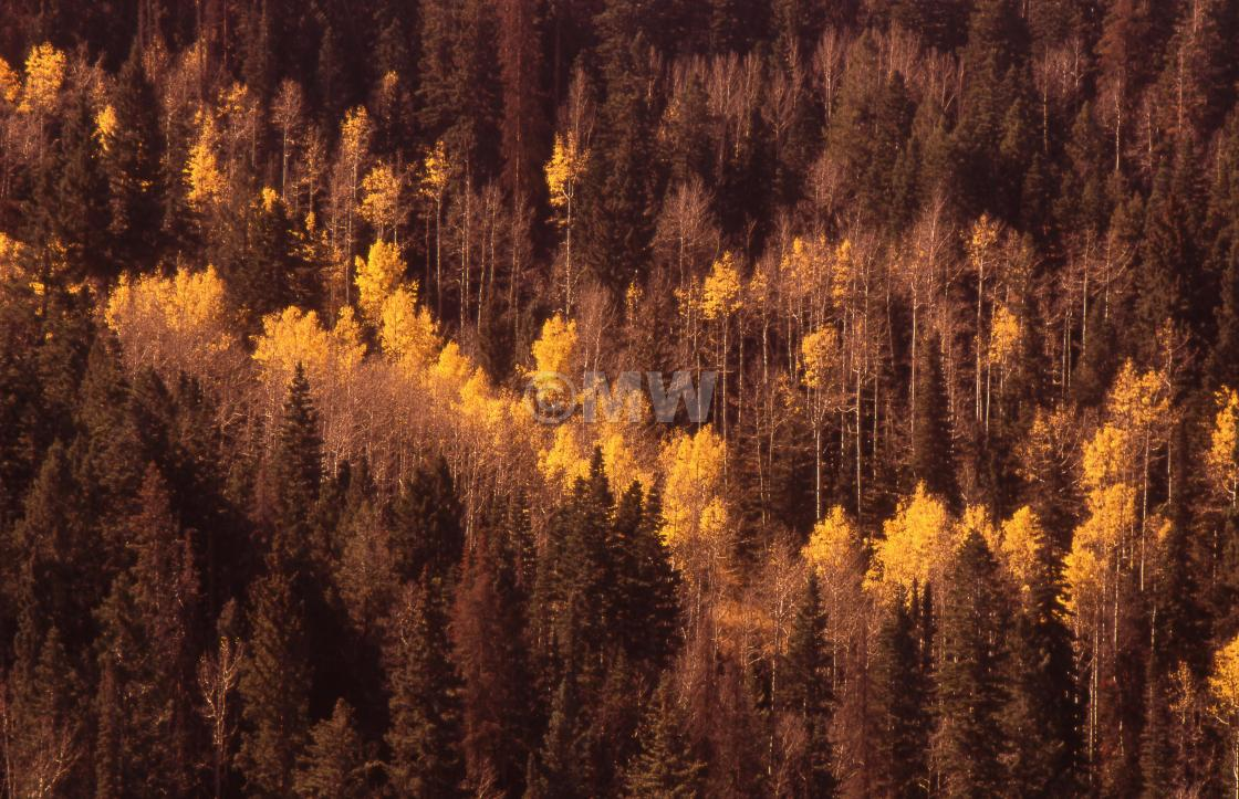 """""""Yellow aspen & pine, Dixie National Forest"""" stock image"""