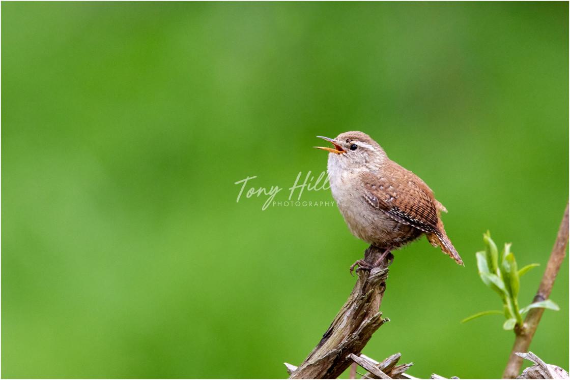 """Bird Song"" stock image"