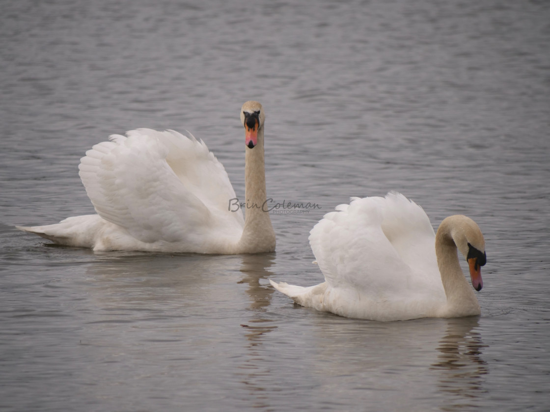 """""""Two Swans"""" stock image"""