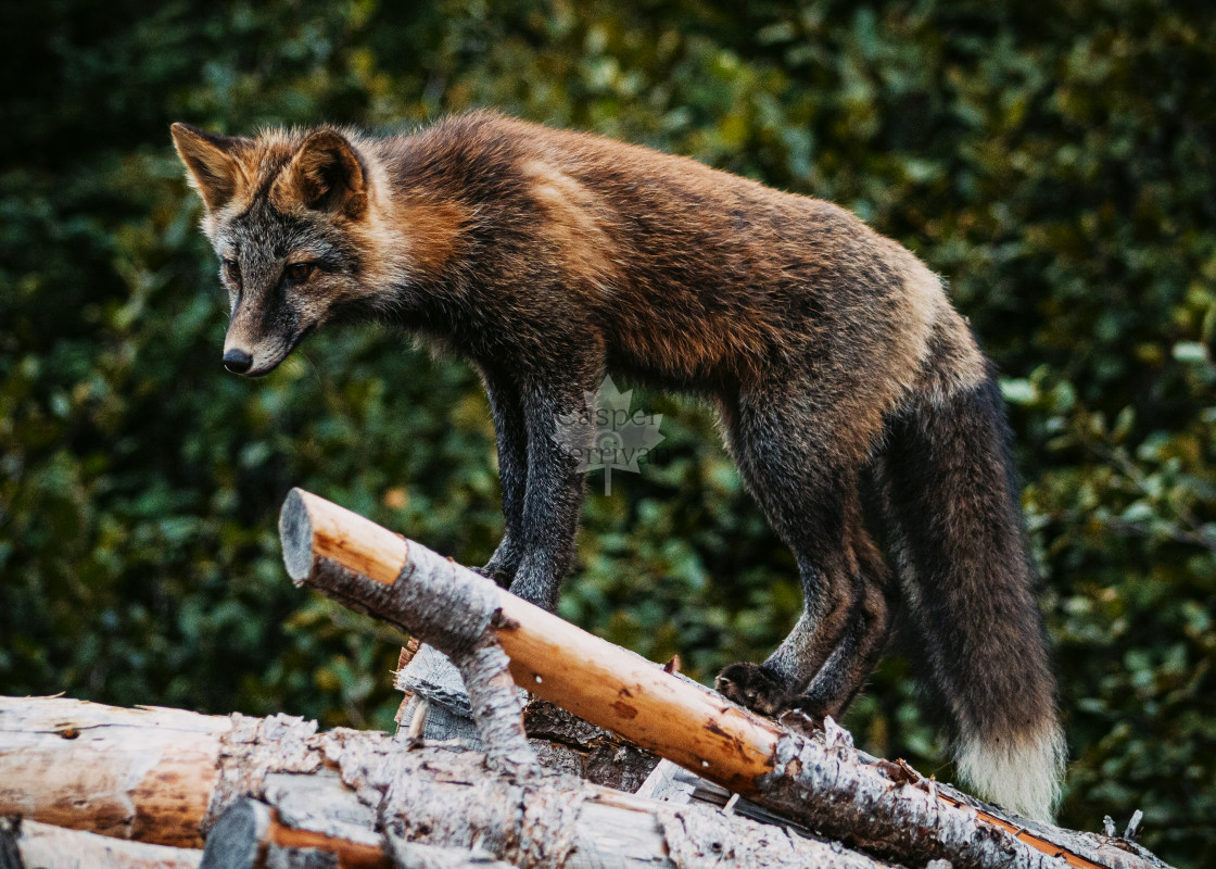 """Graceful Cross Fox"" stock image"