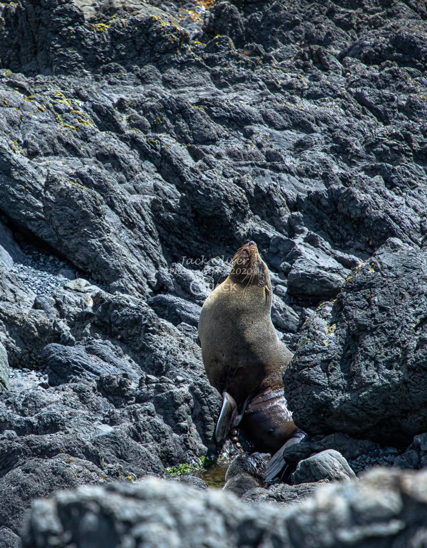 """Seal enjoys the sun"" stock image"