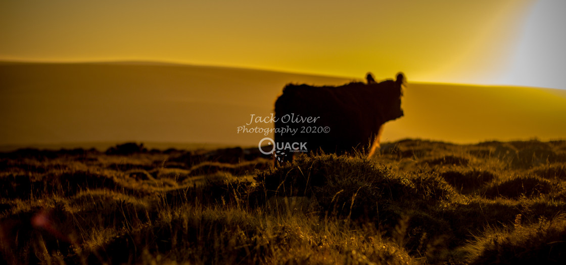 """""""The Golden Cow"""" stock image"""