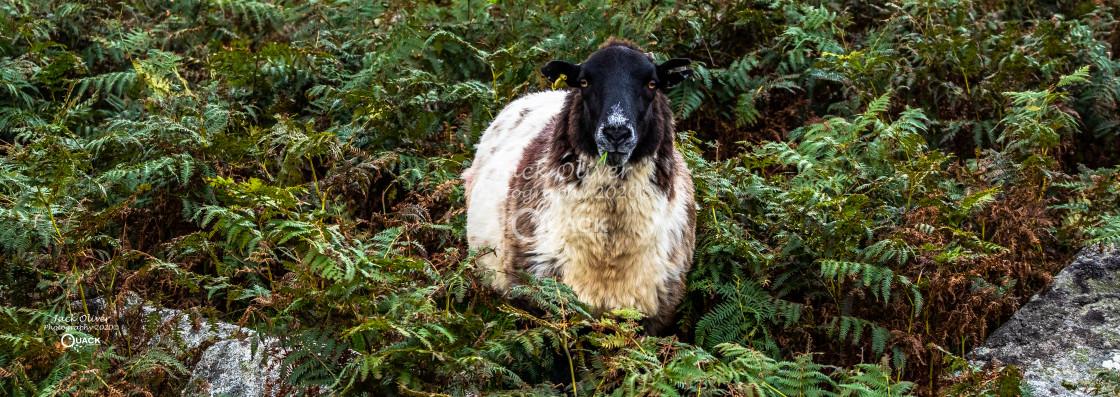 """Dartmoor Sheep"" stock image"