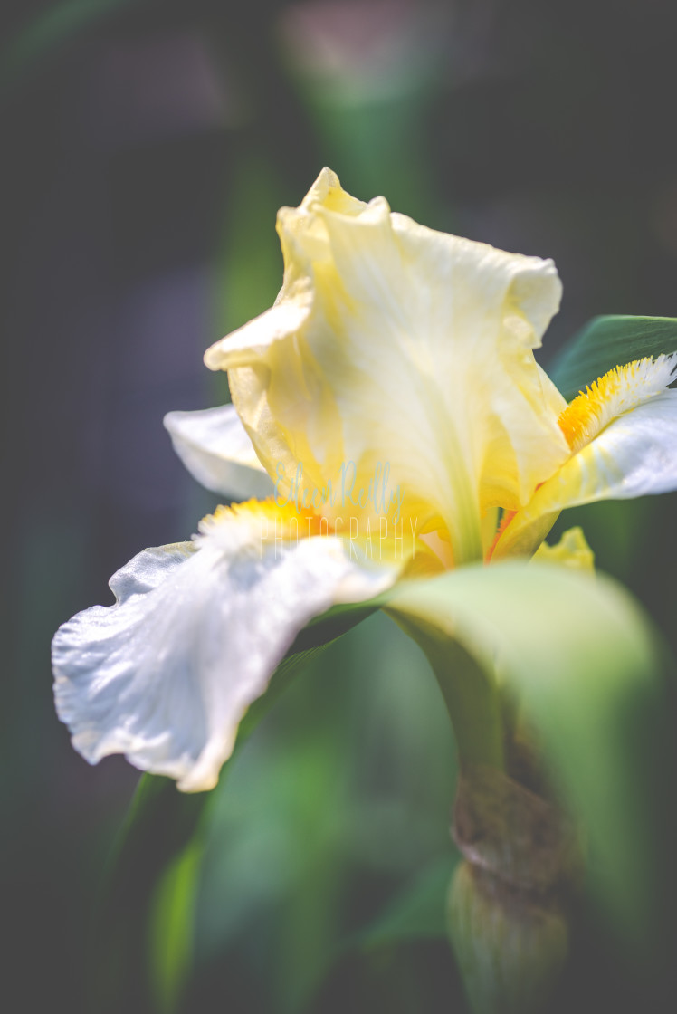 """Yellow bearded iris"" stock image"