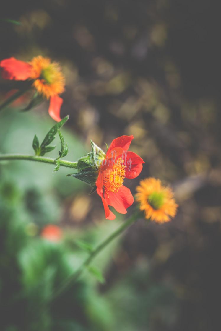 """Geum blooms"" stock image"