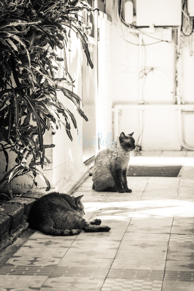"""Two Hemingway cats"" stock image"