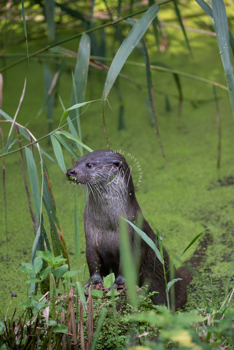 """Portrait of a European Otter"" stock image"