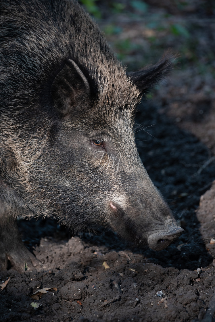 """Portrait of a Wild Boar"" stock image"