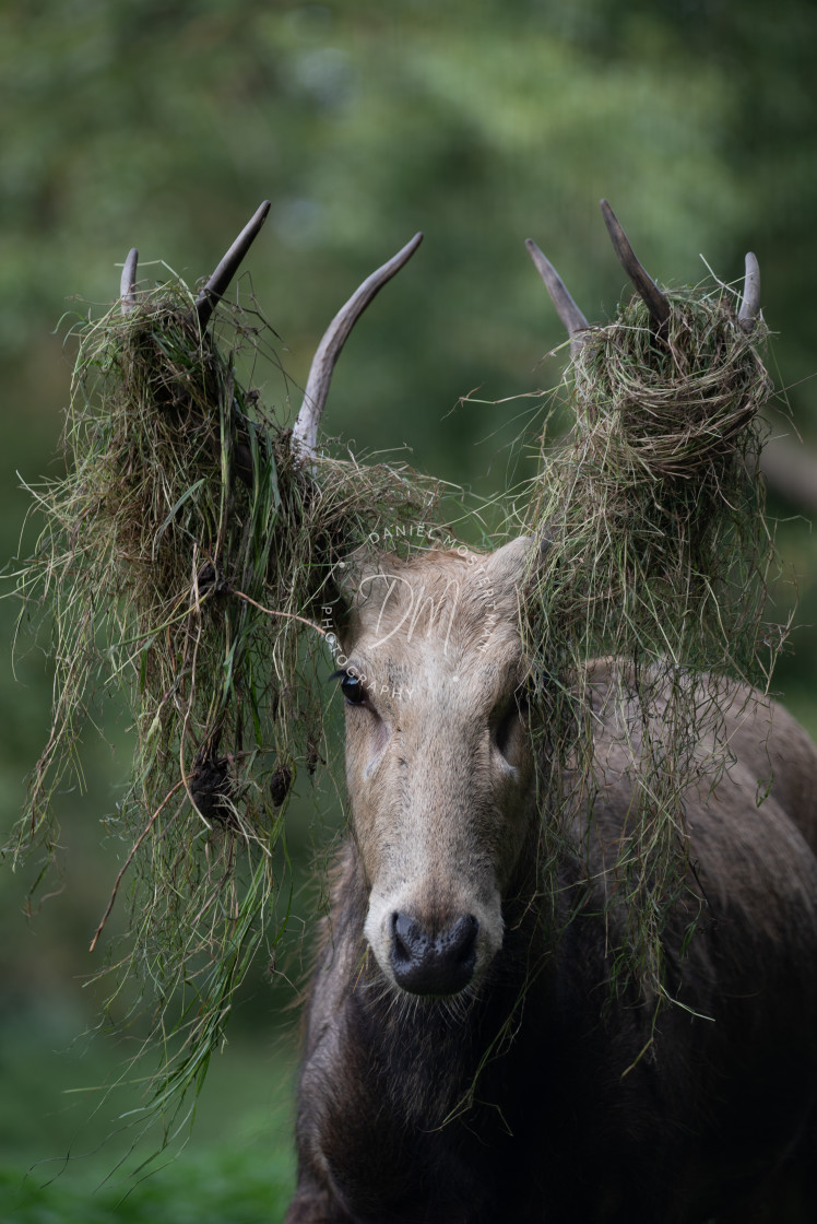 """Portrait of a Père David's Buck"" stock image"