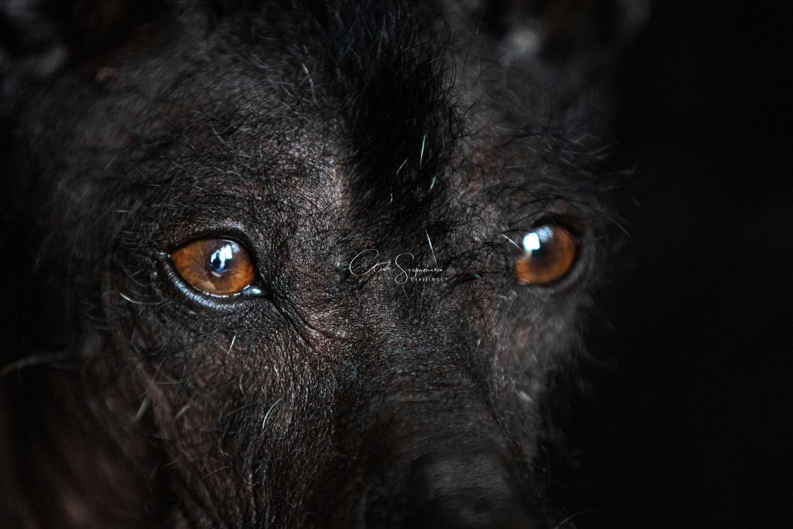 """Striking close up of a Xoloitzcuintle or Xolo dog."" stock image"