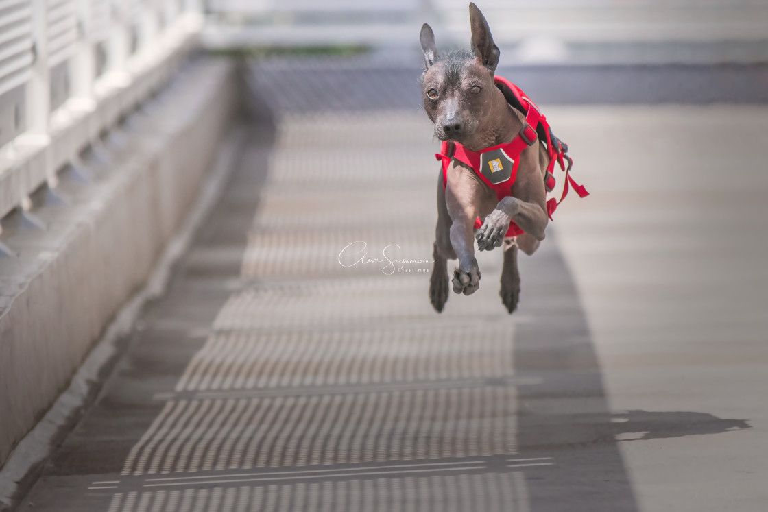 """""""Flying Xolo! An action shot of a Xoloitzcuintle running full speed."""" stock image"""