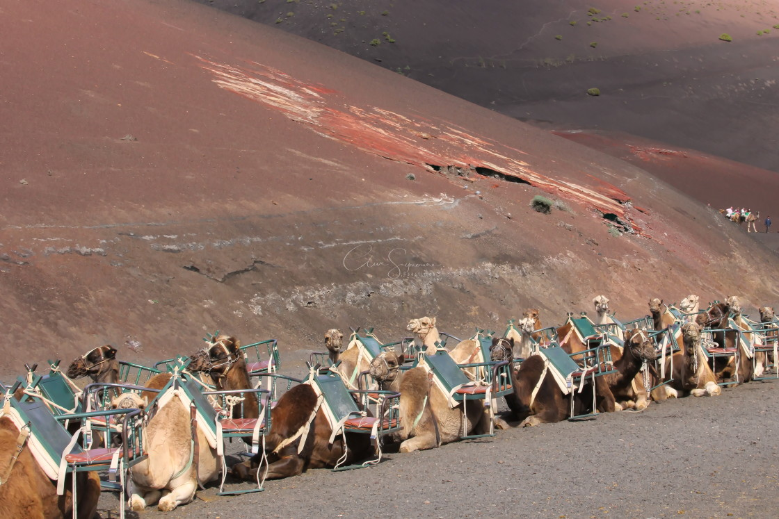 """Empty Camel train in Timanfaya National Park"" stock image"