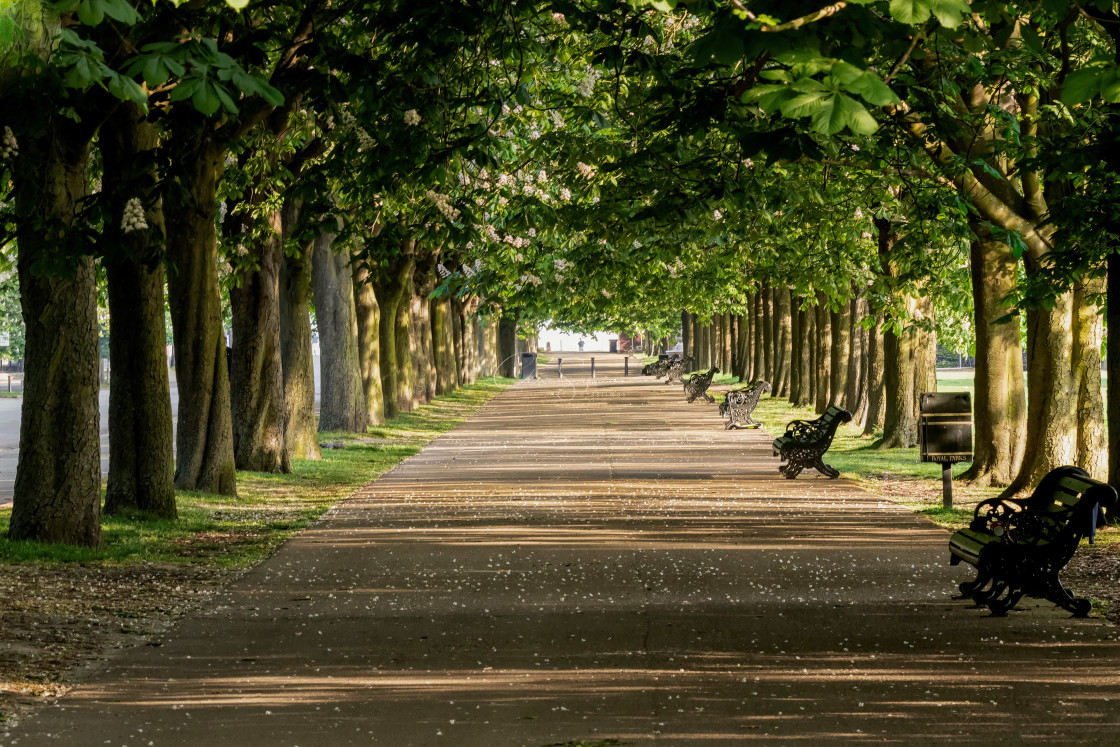"""""""An avenue of trees in Greenwich Park"""" stock image"""