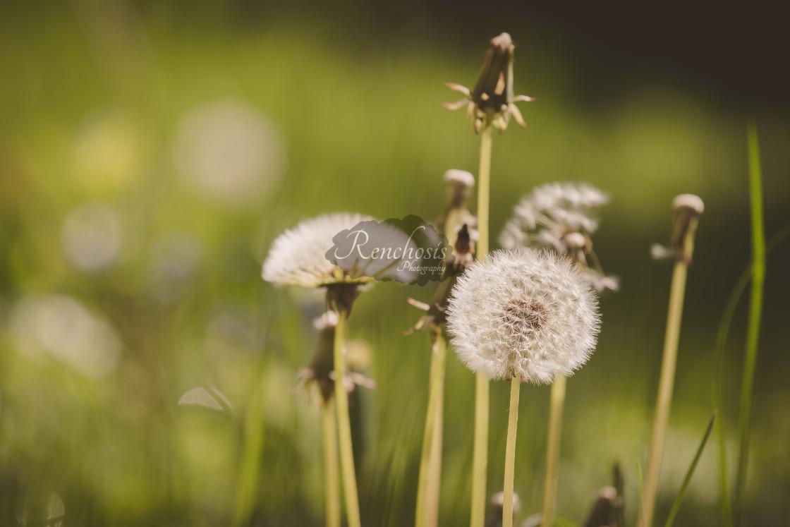 """Dandelion Puffballs"" stock image"