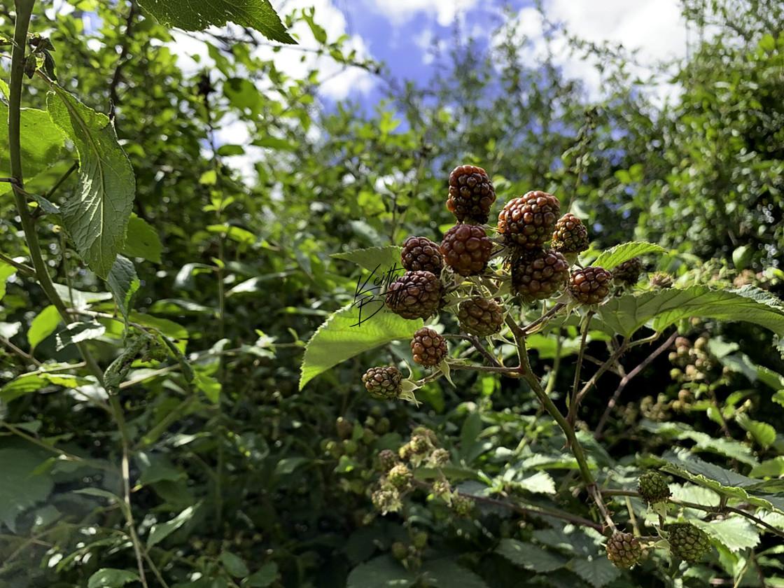 """wild blackberries ripening"" stock image"