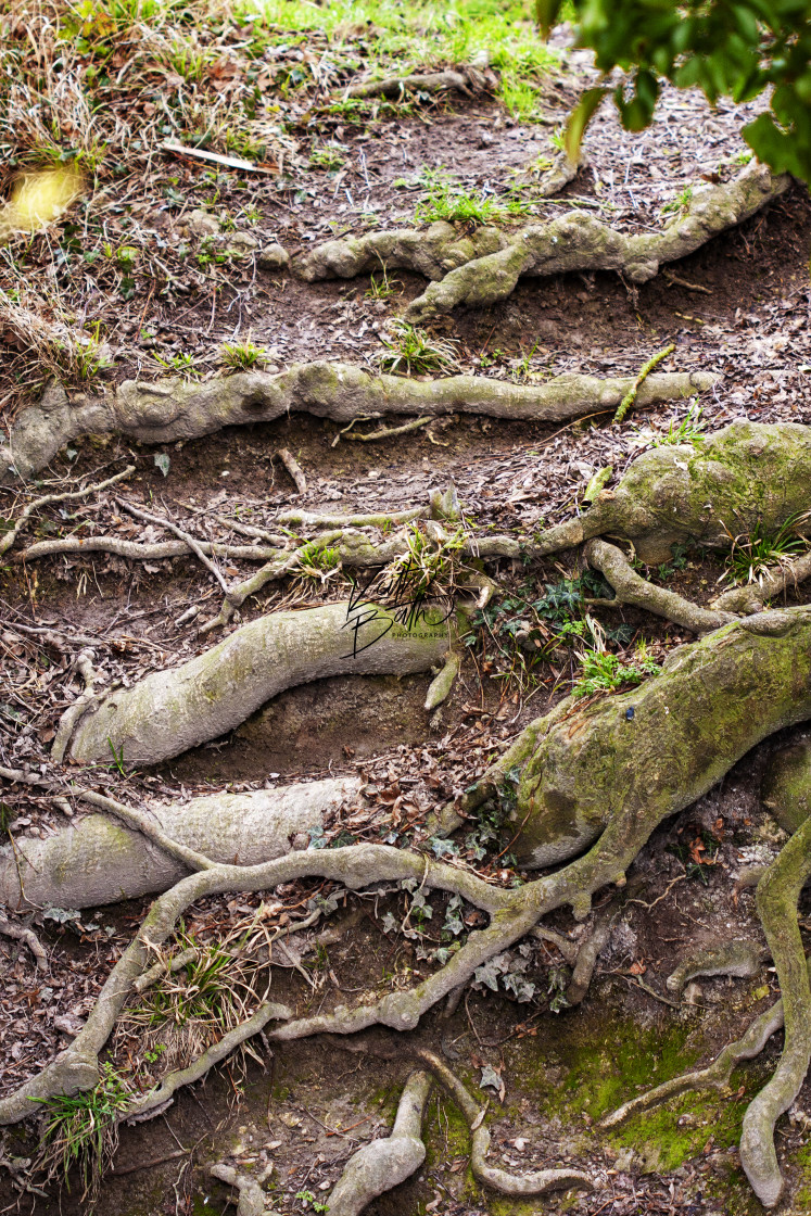 """Gnarled tree roots"" stock image"