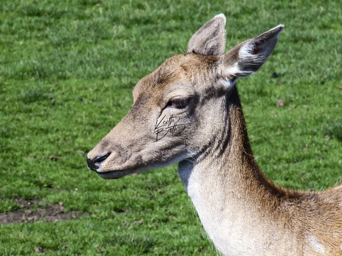 """Young deer at Essex deerpark"" stock image"