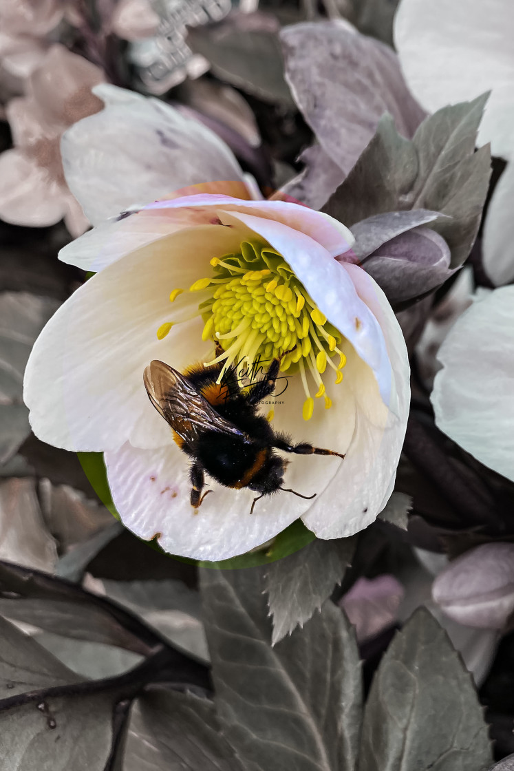 """Bee on a flower"" stock image"