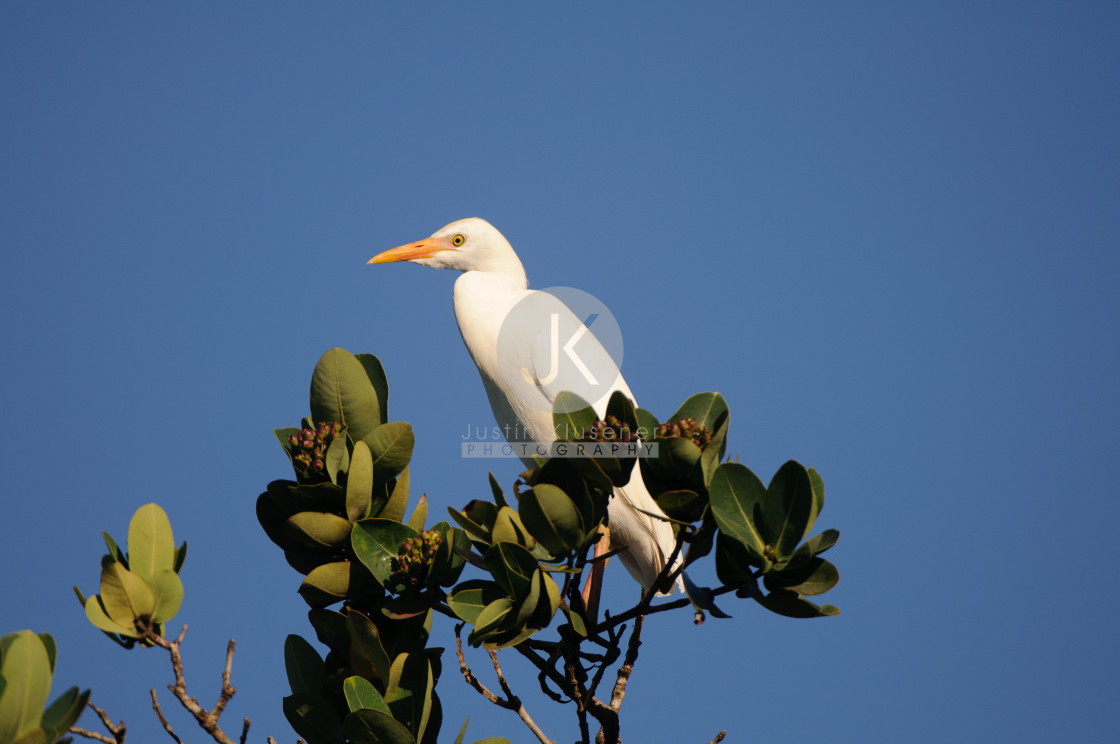 """""""Cattle Egret in Tree"""" stock image"""