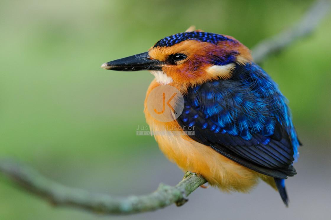 """""""Pygmy Kingfisher"""" stock image"""