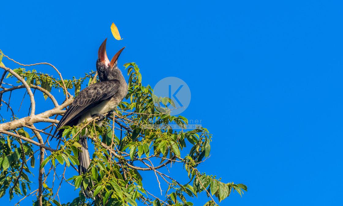 """""""Hornbill tossing leave"""" stock image"""