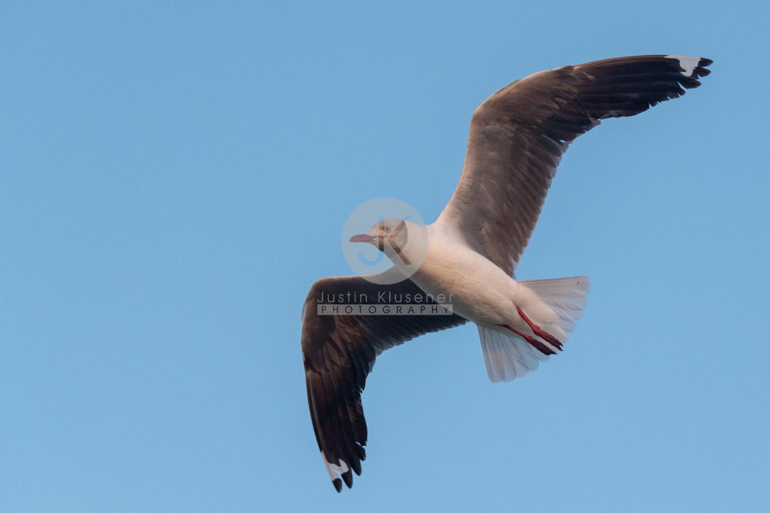 """Grey Headed Gull Flying"" stock image"