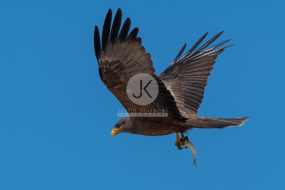 """Yellow Billed Kite carrying fish"" stock image"