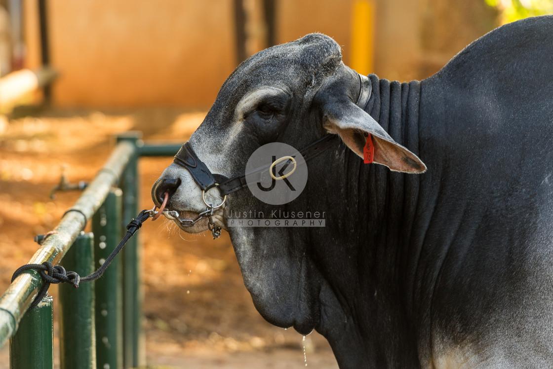 """Brahman bull tied up"" stock image"