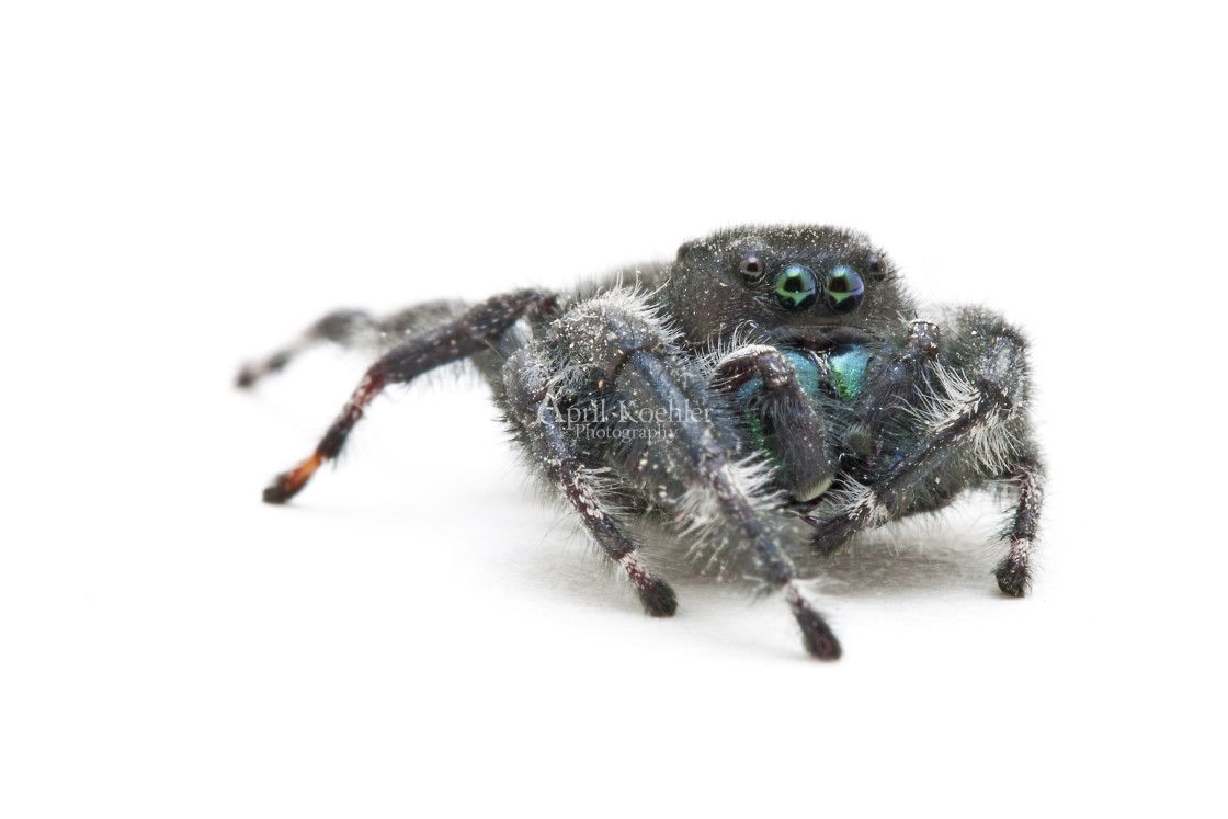 """Daring Jumping Spider"" stock image"