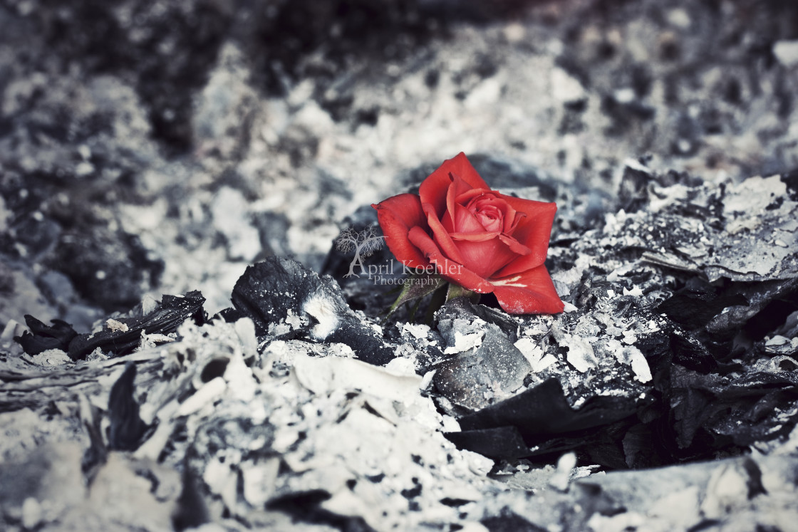 """Beauty Rises from the Ashes"" stock image"