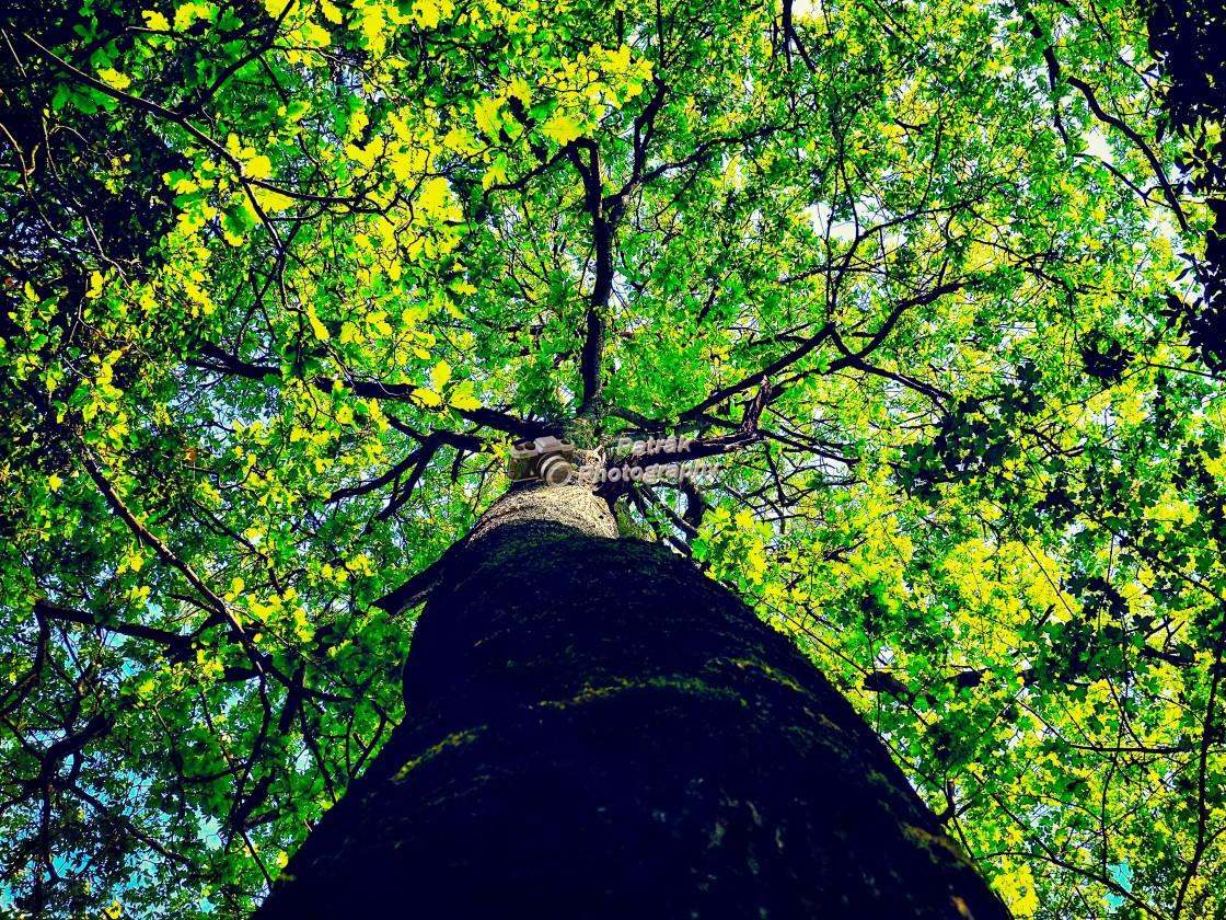 """Old Acorn Tree"" stock image"